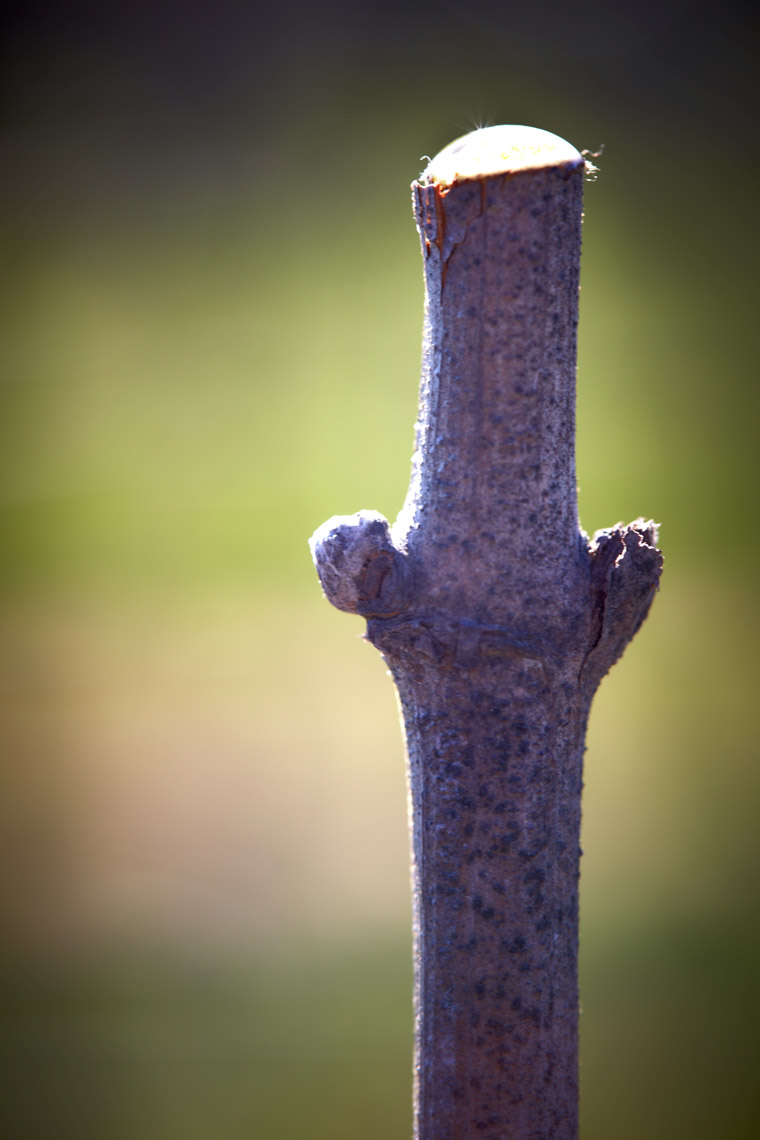 AlanCampbellPhotography, sap seeping out after pruning