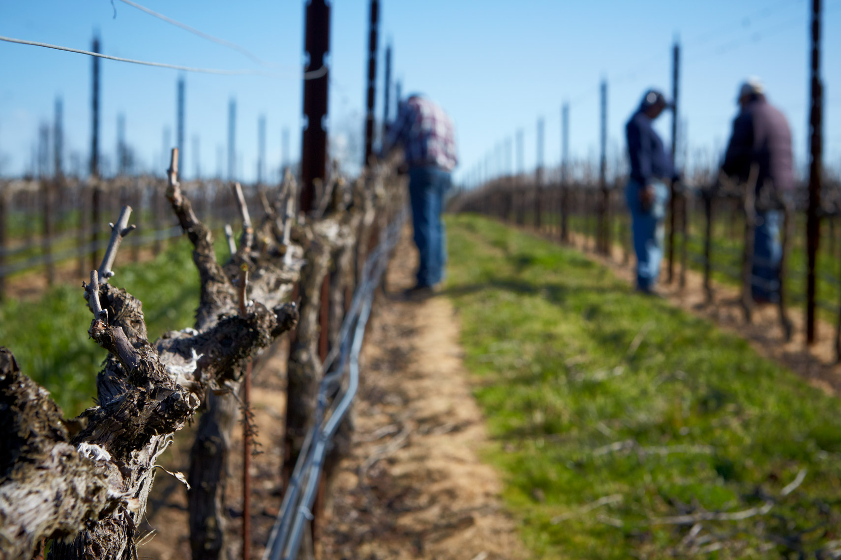 AlanCampbellPhotography, pruning the vineyards