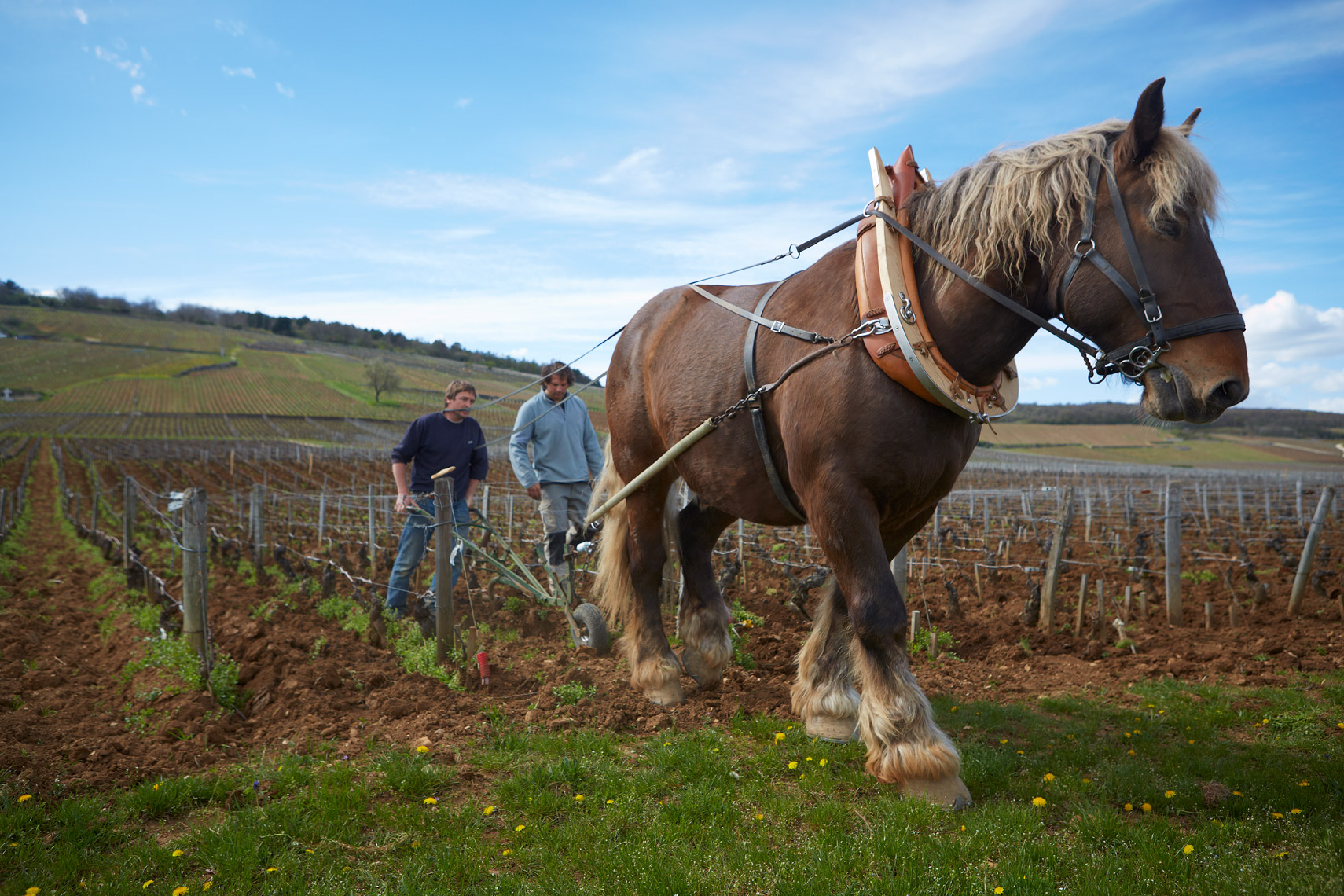 AlanCampbellPhotography, Horse-Plowing-Romanee-Conti