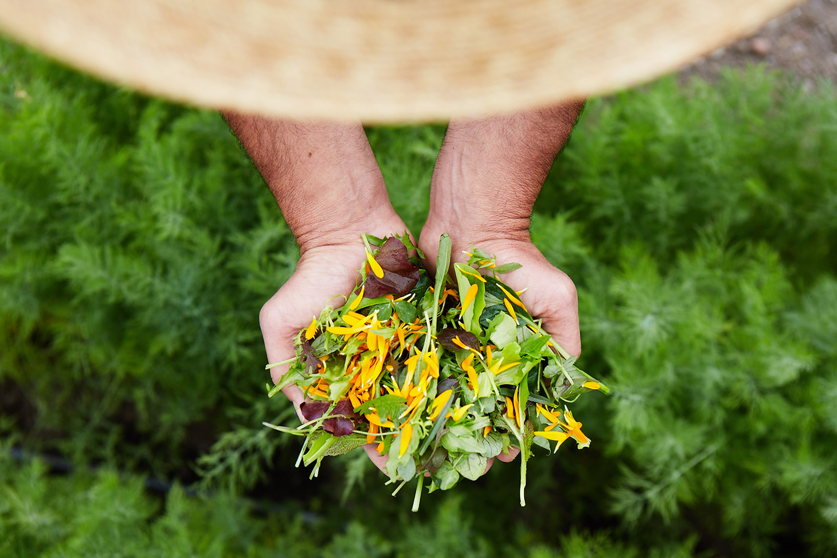 AlanCampbellPhotography, Spring Salad mix ion gardners hands