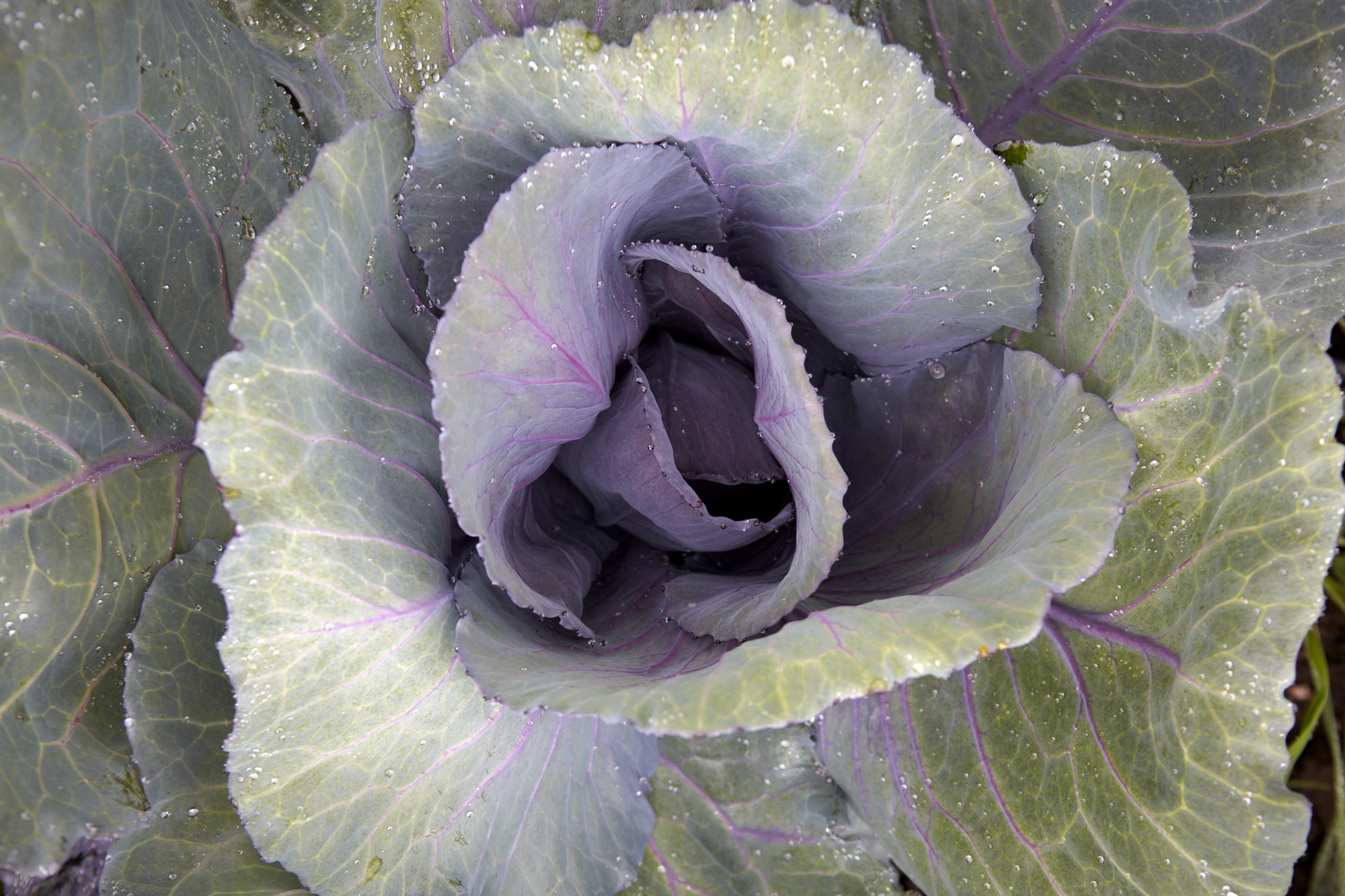 AlanCampbellPhotography, fresh ingredients cabbage