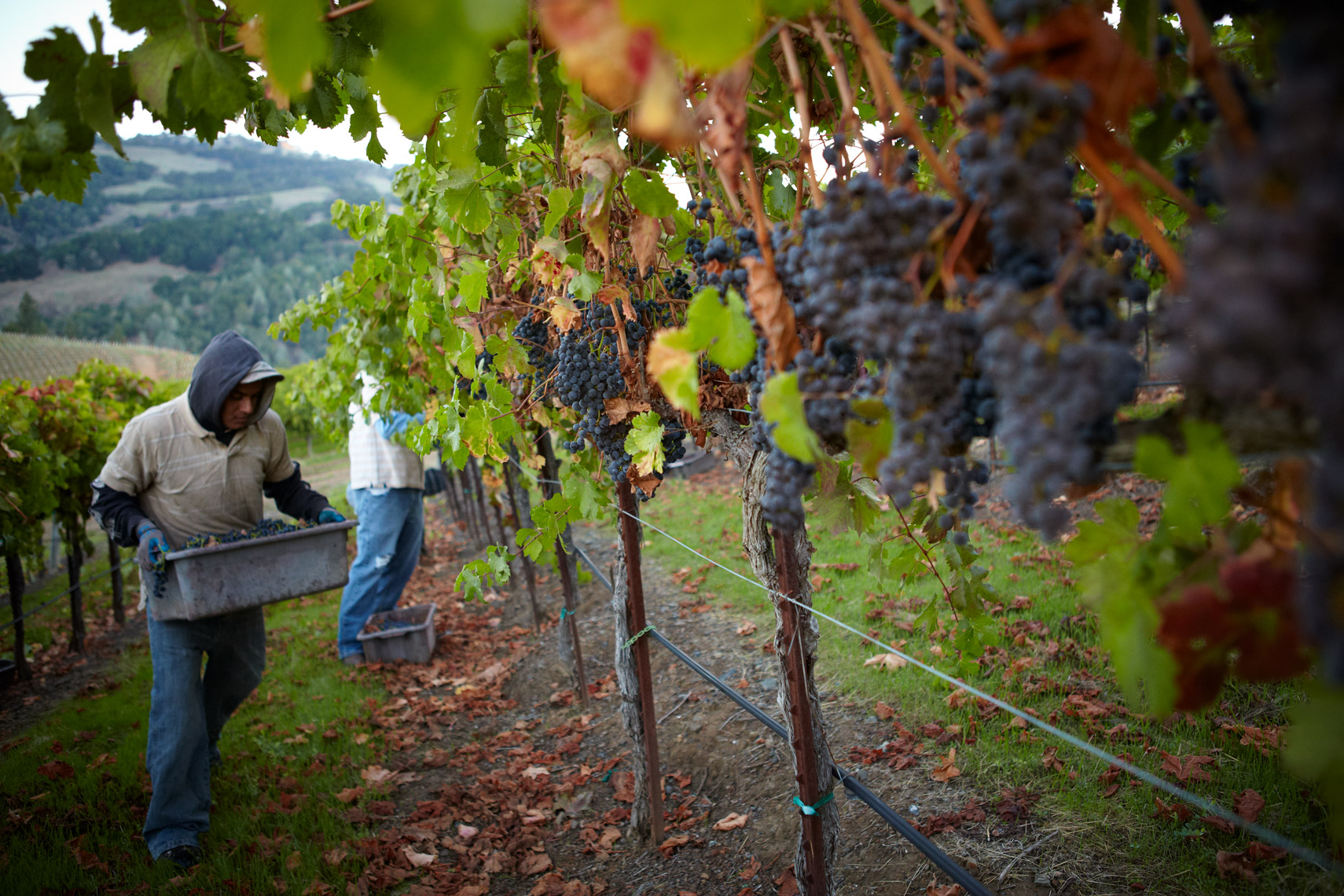 AlanCampbellPhotography, sonoma county cab harvest
