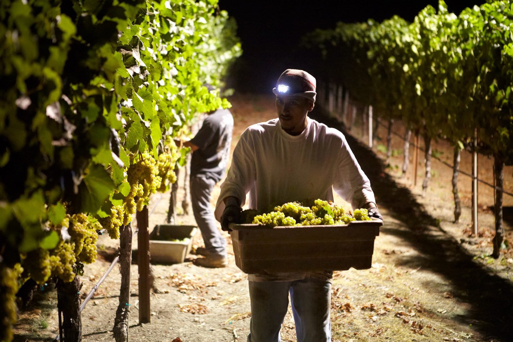 AlanCampbellPhotography, chardonnay night harvest
