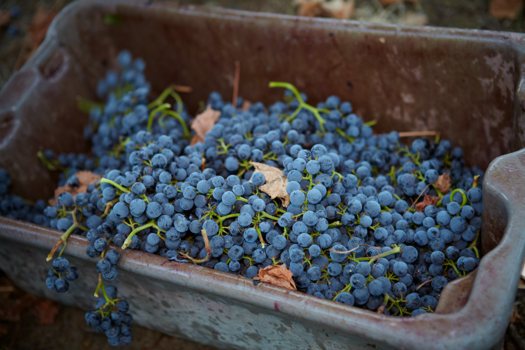 AlanCampbellPhotography, bin of grapes harvest time