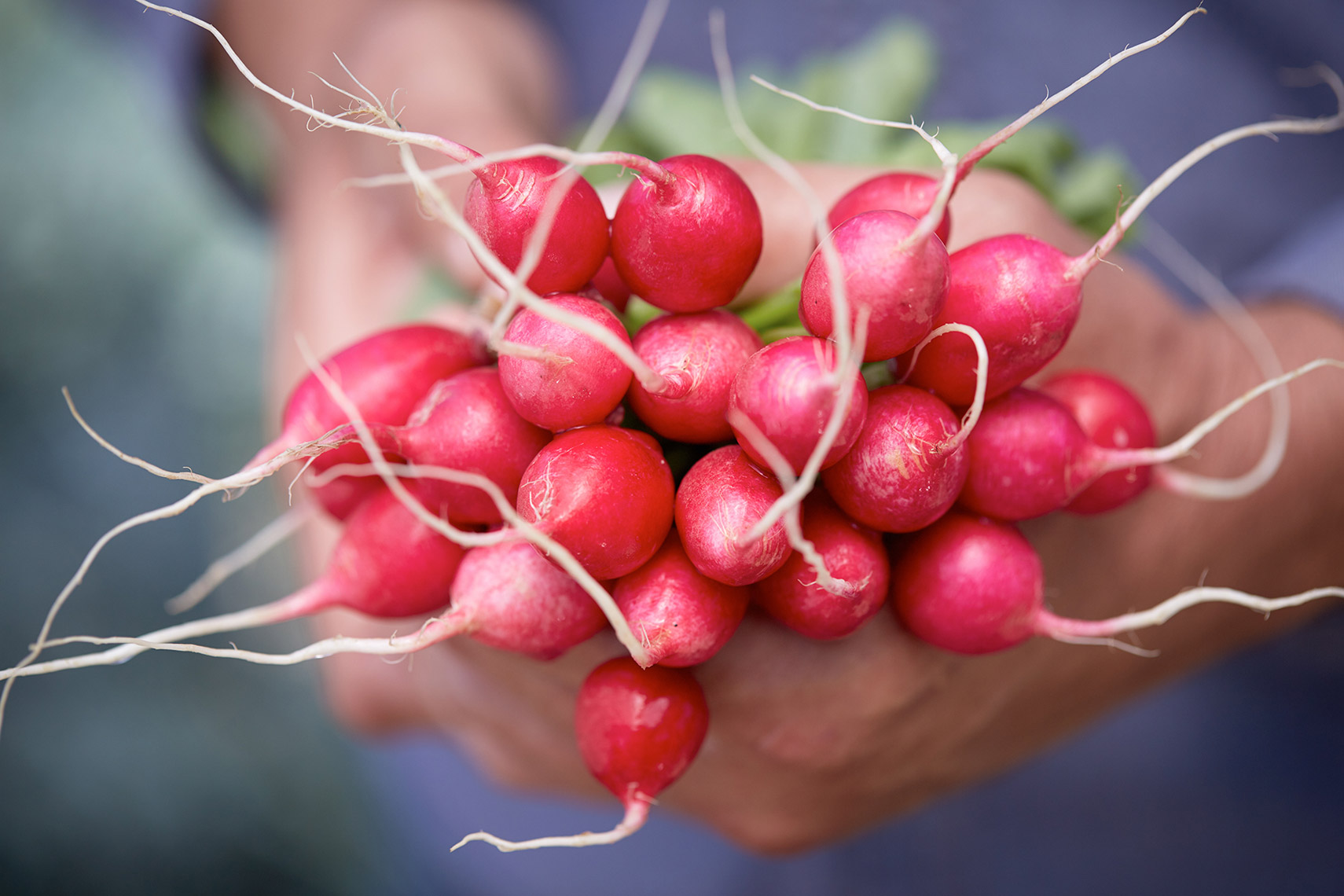 AlanCampbellPhotography, Radishes fresh from the garden